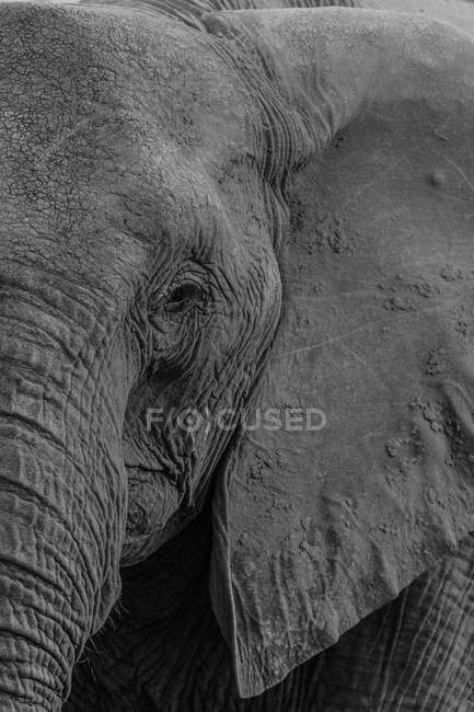 Close-up view of a bull elephant head — Stock Photo