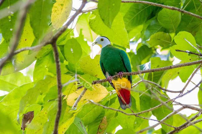 Черноволосый голубь на ветке дерева с листьями — стоковое фото