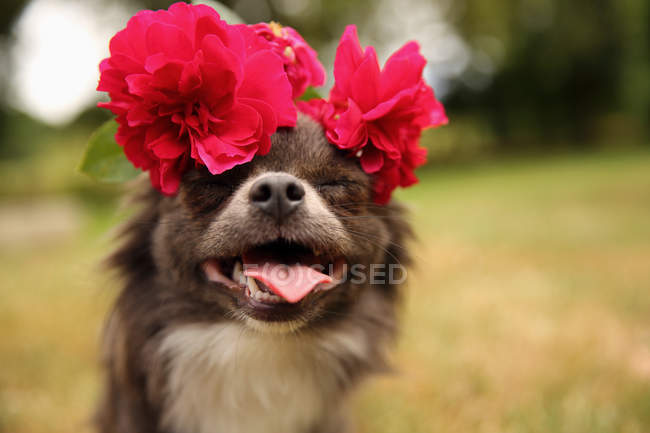 Closeup view of cute Chihuahua with flowers on head — Stock Photo