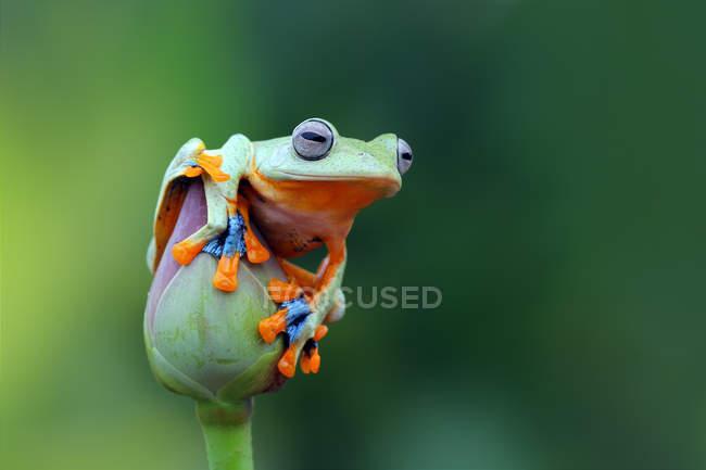Javan tree frog on lotus flower, blurred background — Stock Photo