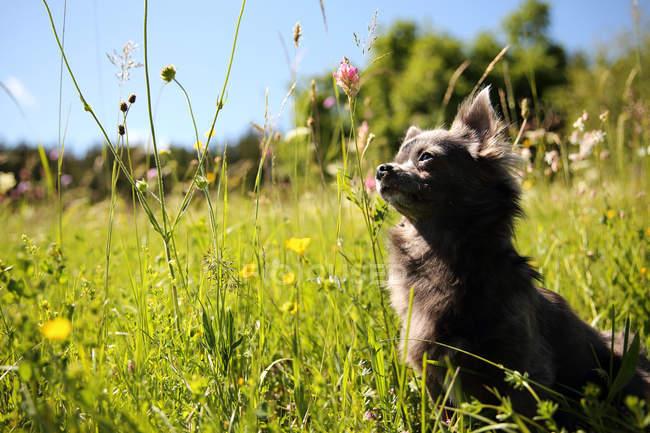 Портрет милою собака чихуахуа в сонячному світлі в траві області — стокове фото