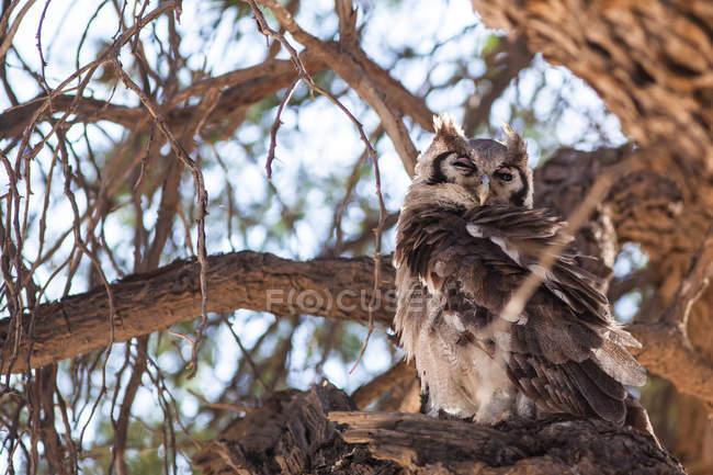 Búho sentado en un árbol en la naturaleza salvaje - foto de stock