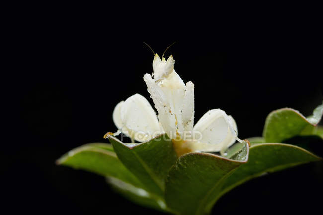 Mantis sitting on plant against black background — Stock Photo
