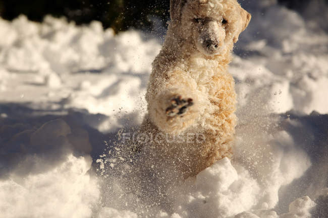 Cute Purebred Dog playing in snow — Stock Photo