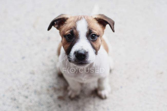 Portrait of a terrier puppy dog, closeup view — Stock Photo