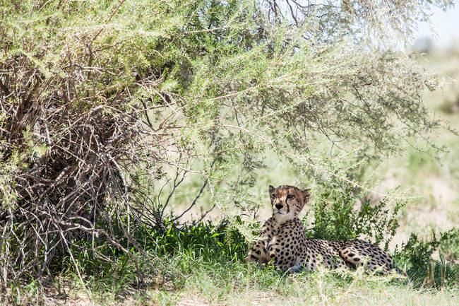 Cachorro de guepardo acostado a la sombra, Parque Transfronterizo Kgalagadi, Sudáfrica - foto de stock