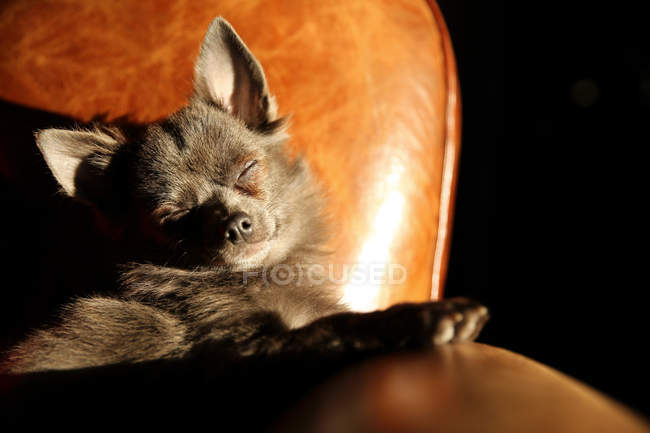 Cute and funny Chihuahua dog relaxing on armchair — Stock Photo