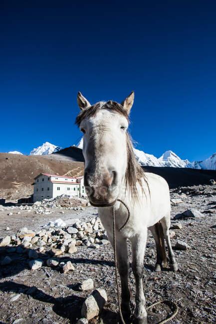 Закриття коня, базовий табір Еверест, Гімалаї, Непал — стокове фото