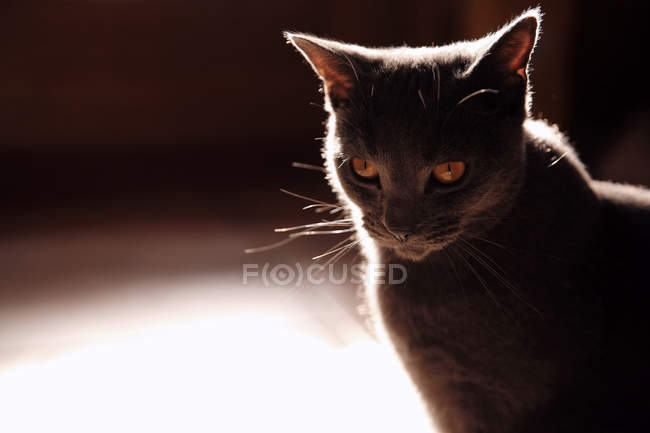 Portrait of beautiful grey cat at home — Stock Photo