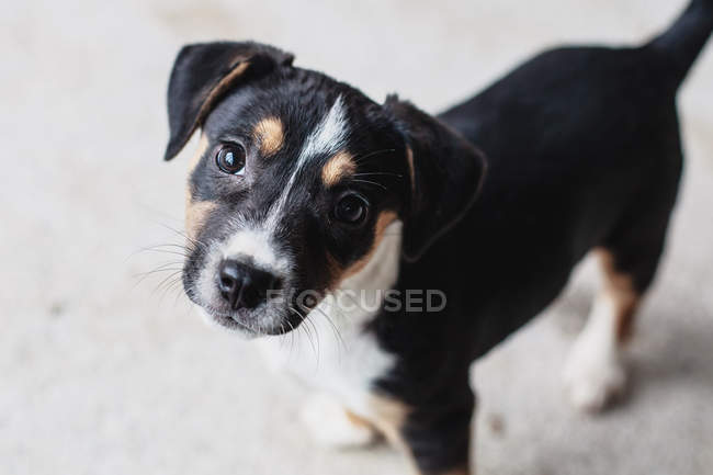 Портрет тер'єра цуценя собаки, високий кут зору — стокове фото