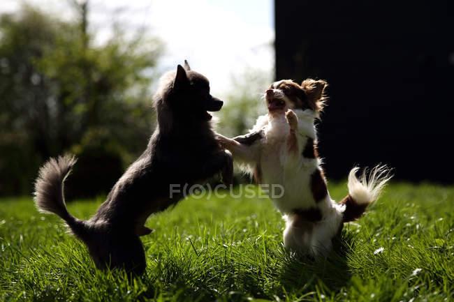 Дві милі Собаки чихуахуа грають разом — стокове фото