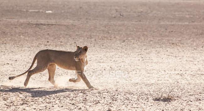 León majestuoso en naturaleza salvaje - foto de stock