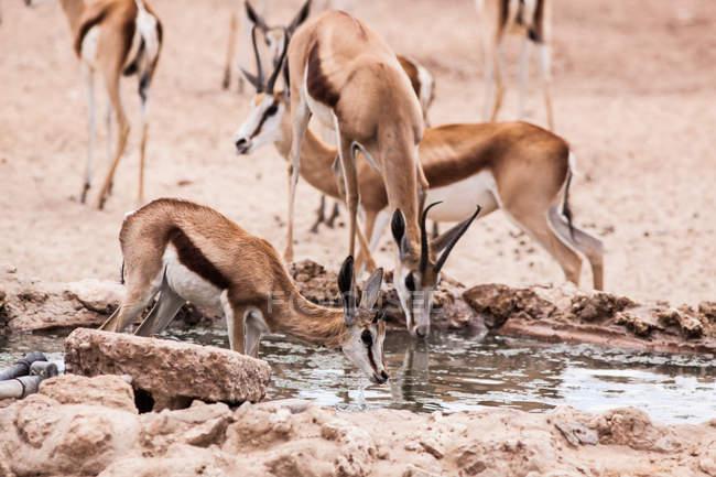 Springboks buvant dans un trou d'eau, Kgalagadi Transborder Park, Afrique du Sud — Photo de stock