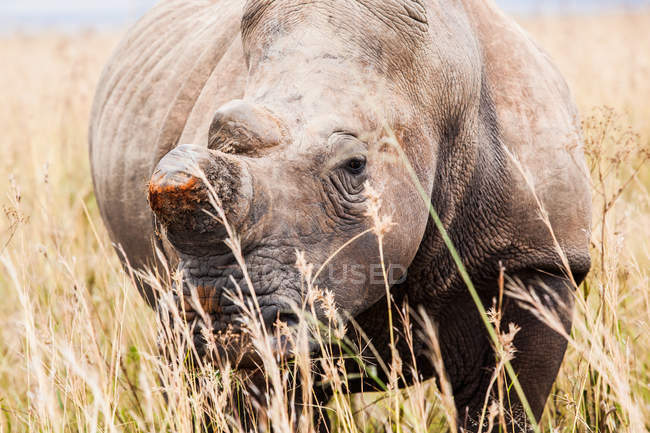 Commandes de rhino majestueux à la nature sauvage — Photo de stock