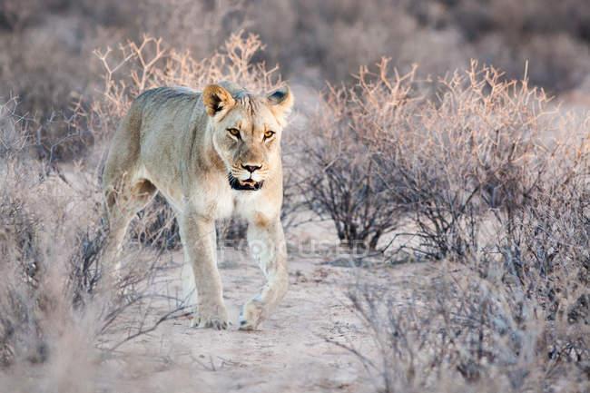 Молодий левиця, проходячи через куща в дикої природи — стокове фото