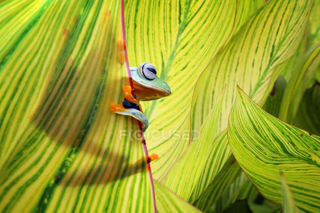 Javan tree frog hiding in leaves — Stock Photo