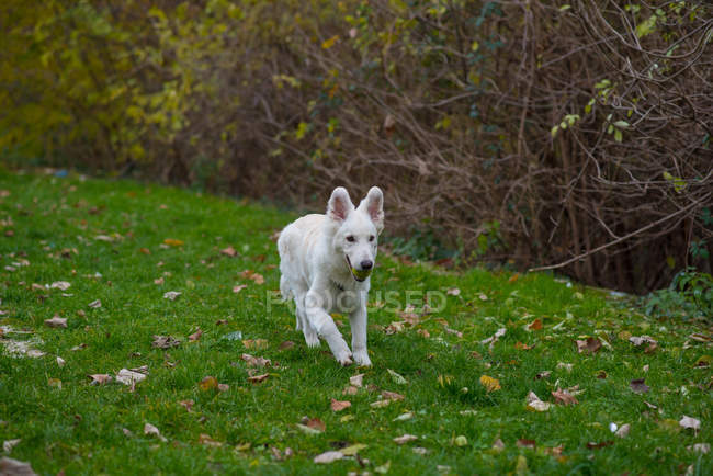 Cute white dog walking in green forest — Photo de stock