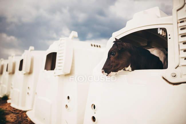 Корова стоїть у кріслі для теляти. — стокове фото