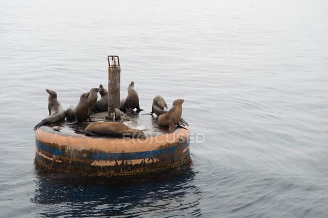 Колония морских львов основывается на старой буй вдоль побережья Южной Калифорнии — стоковое фото