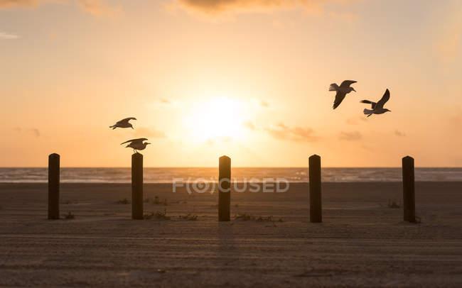Seagulls flying over wooden posts on beach, Port Aransas, Texas, America, USA — Stock Photo