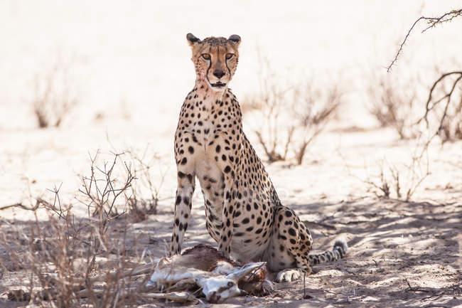 Мальовничий вид гепарда позує до камери — стокове фото