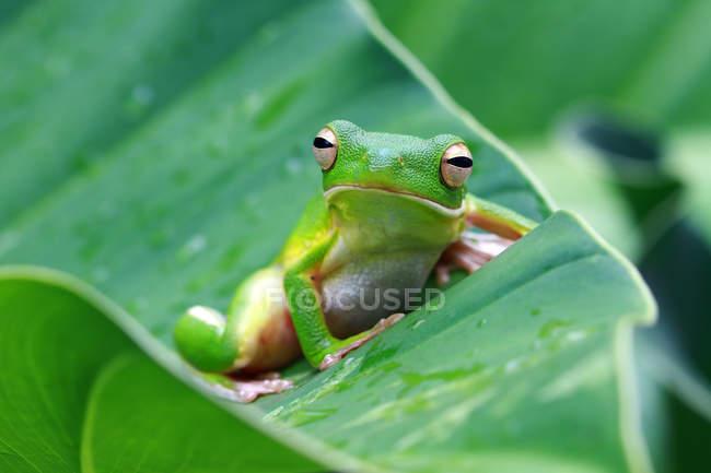 Portrait d'une grenouille à lèvres blanche sur une feuille — Photo de stock