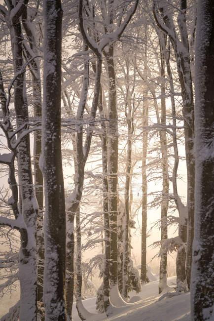 Sunlight in a snowy forest, Gaisberg, Salzburg, Austria — Stock Photo