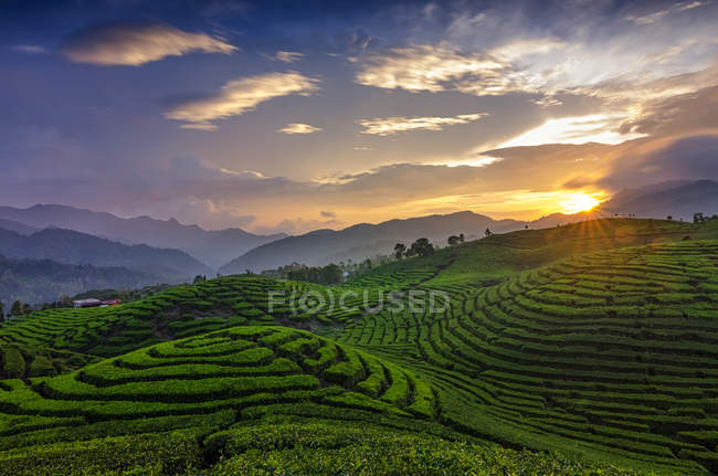 Tea plantation at sunset, Alahan Panjang, West Sumatra, Indonesia — Stock Photo