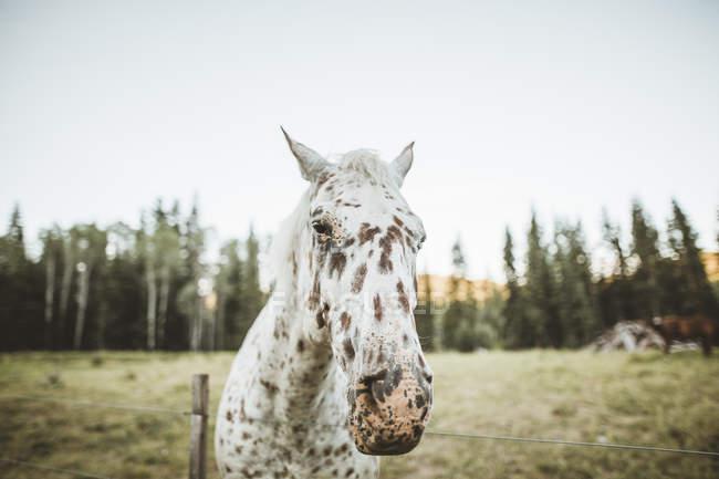 Портрет плямистого коня на полі (Британська Колумбія, Канада). — стокове фото