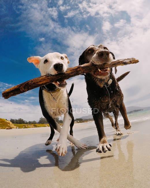 Deux chiens mignons avec un bâton sur la plage — Photo de stock