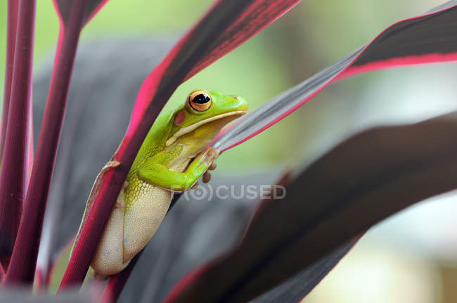 Portrait of a dumpy frog on a leaf, blurred background — Stock Photo