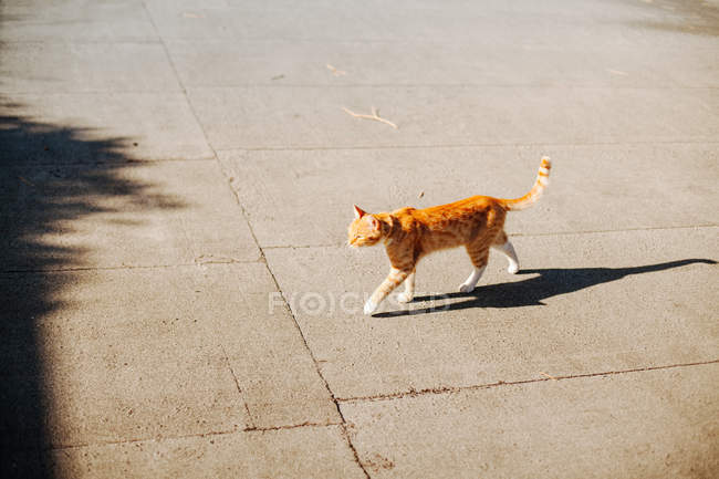 Ginger cat walking in street and throwing shadow — Stock Photo