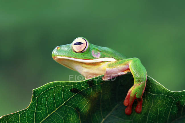 White-lipped tree frog on a leaf, blurred background — Stock Photo