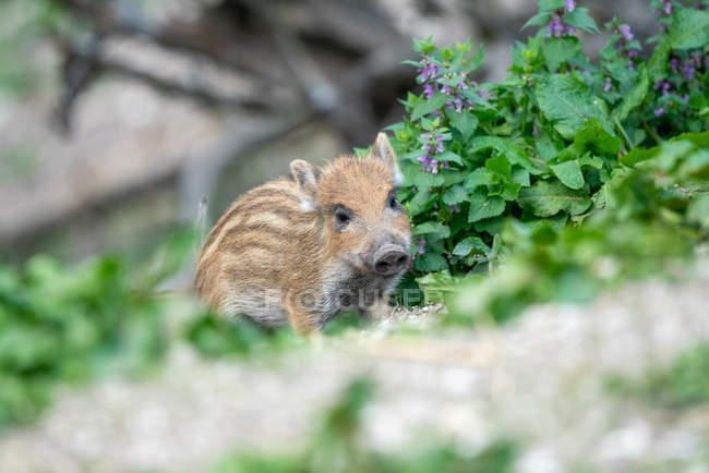 Primo piano vista del maialino cinghiale su sfondo sfocato — Foto stock