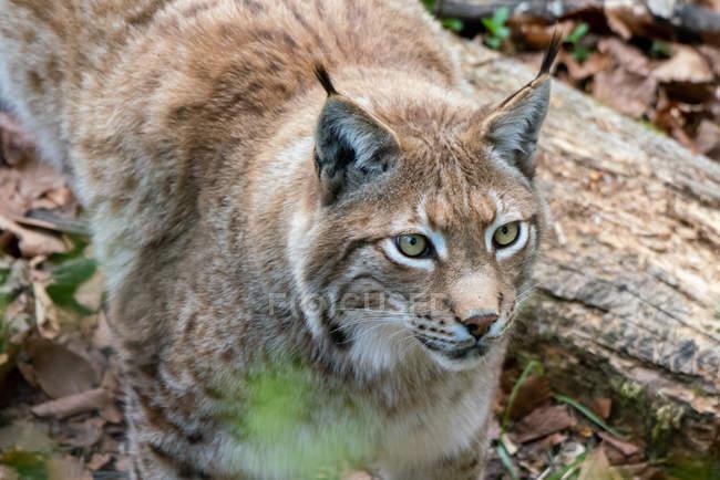 Primo piano vista di maschio Eurasian Lynx — Foto stock