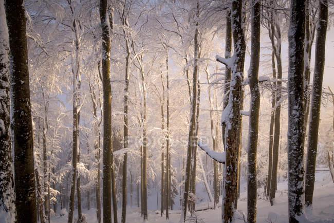 Luce del sole in una foresta innevata, Gaisberg, Salisburgo, Austria — Foto stock