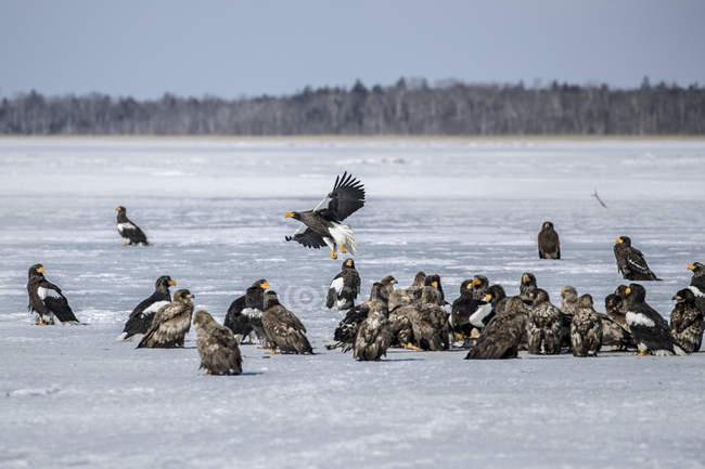 Aigles et faucons dans la neige, vie sauvage — Photo de stock