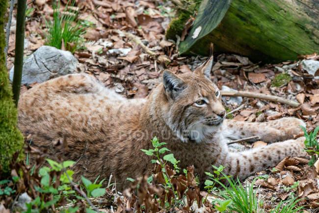 Primo piano vista di Male Eurasian Lynx, Alpi austriache, Grunau im Almtal, Gmunden, Austria — Foto stock