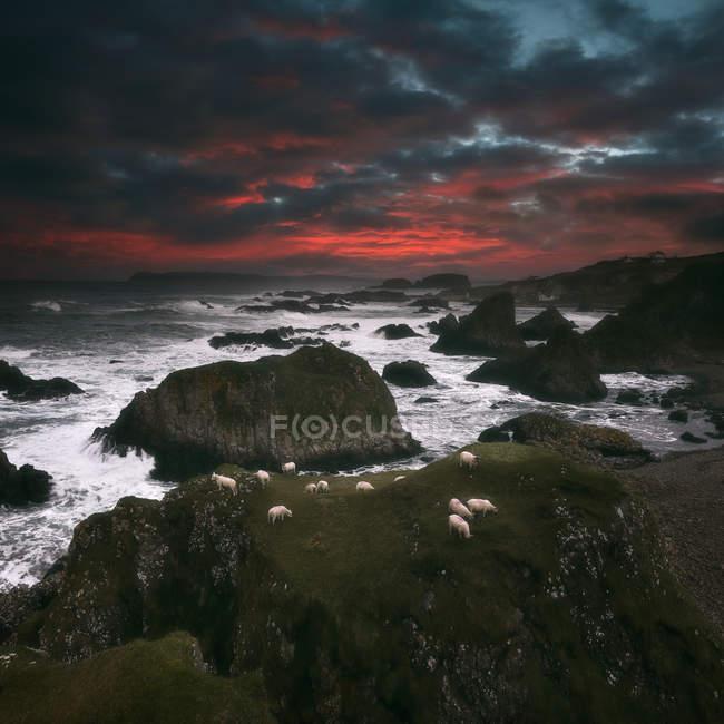 Sheep grazing on coastal cliffs at sunrise, Ballintoy, County Antrim, Northern Ireland, UK — стоковое фото