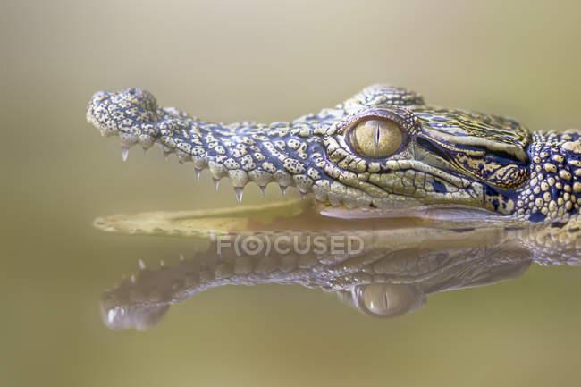 Ritratto di coccodrillo a bocca aperta in un fiume, fuoco selettivo — Foto stock
