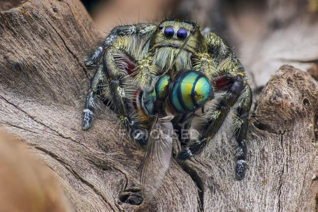 Araignée de saut avec la proie sur le fond brouillé — Photo de stock