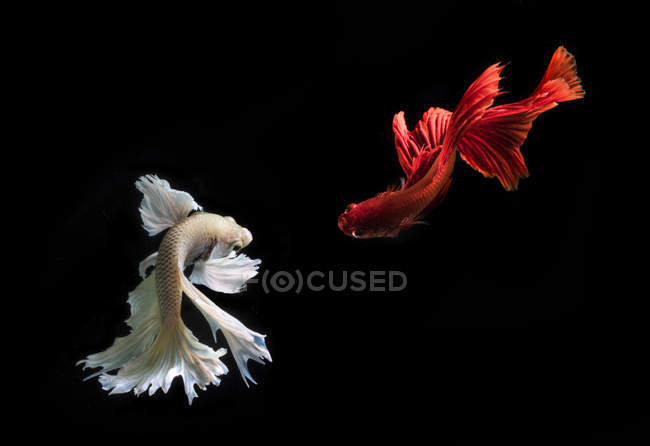 Closeup view of majestic betta fishes on black background — Stock Photo