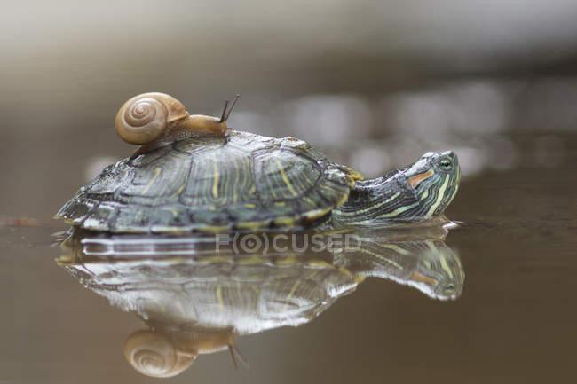 Vista laterale di lumaca su una tartaruga in acqua, messa a fuoco selettiva — Foto stock