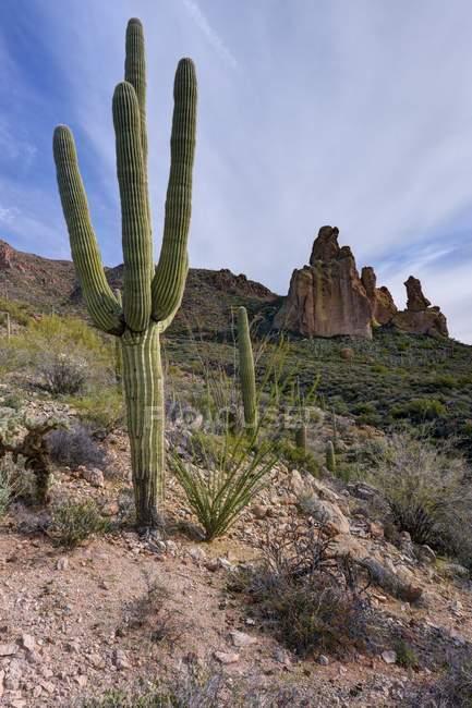Vista panorâmica de Saguaro cacti, Dutchman Trail, Tonto National Forest, Arizona, América, EUA — Fotografia de Stock