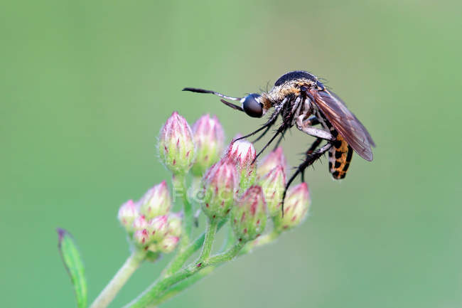 Mosquito on a flower, selective focus macro shot — Stock Photo