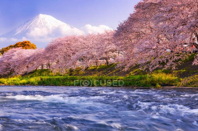 Cerisiers en fleurs le long d'une rivière avec le mont Fuji en arrière-plan, Japon — Photo de stock