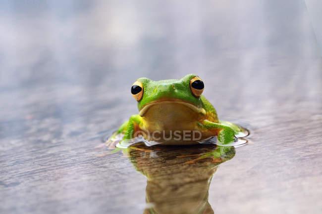 Porträt eines weißlippigen Laubfroschs auf einem nassen Blatt, unscharfer Hintergrund — Stockfoto