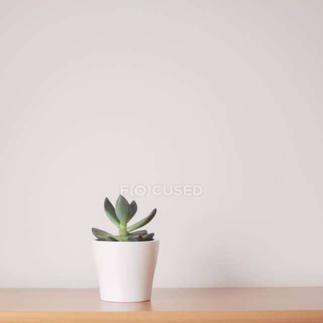 Closeup view of Succulent plant in a plant pot — Stock Photo