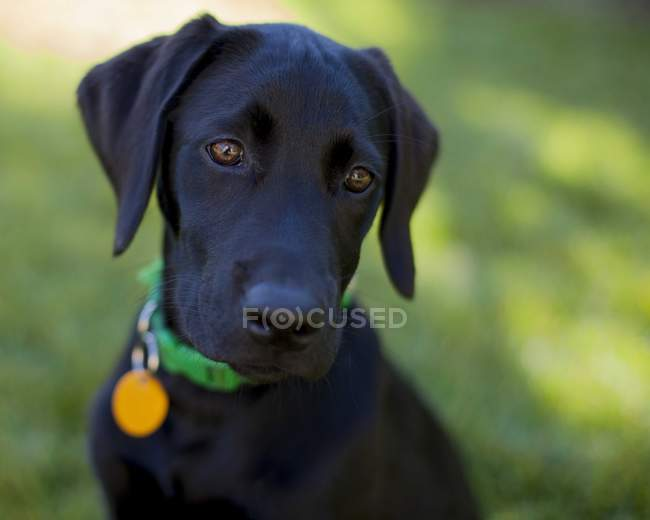 Portrait of a black labrador puppy, closeup view — Fotografia de Stock