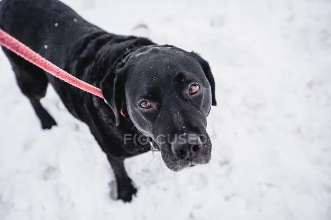 Чорний лабрадор в снігу, високий кут зору — стокове фото